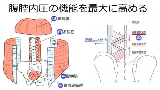 腹腔内圧が機能する目的